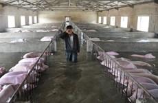 [Photo] Nông dân khóc nức nở khi thấy đàn lợn chìm trong biển nước