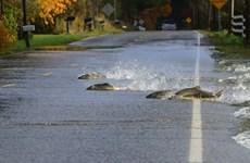 """[Video] Đàn cá hồi mạo hiểm """"vượt đường cao tốc"""" để tìm bạn tình"""