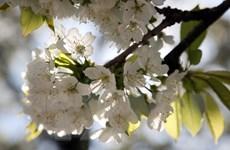 [Photo] Không chỉ ở Nhật, Anh cũng có những con phố ngợp hoa anh đào