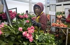 Hoa hồng thi nhau đua sắc trong ngày Lễ tình nhân ở Colombia