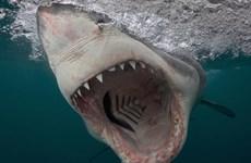 Australia: Cá mập tấn công người đang bơi trên sông Swan