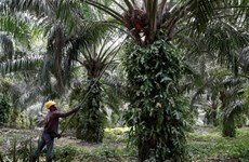 Malaysia chuẩn bị khởi kiện EU lên WTO xung quanh tranh chấp về dầu cọ