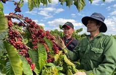 Thị trường nông sản tuần qua: Giá cà phê hồi phục nhẹ