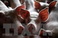 Hong Kong (Trung Quốc) đối phó với dịch tả lợn châu Phi