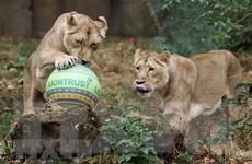 Ấn Độ: 8 con sư tử ở Công viên động vật Nehru mắc COVID-19