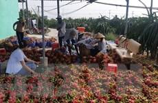 Thành phố Cần Thơ: Trái cây giảm giá sâu khi vào thu hoạch