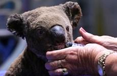 Australia ứng dụng công nghệ cao bảo vệ loài gấu túi