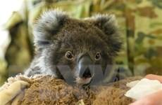 Quần thể gấu túi ở Australia suy giảm đáng báo động trong năm 2021