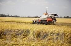 Nông sản thế giới: Giá gạo Ấn Độ cao nhất trong gần ba tháng