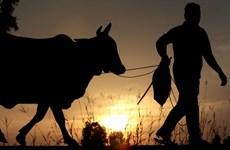 Thái Lan: Người dân tiêm vaccine tại huyện Mae Chaem có cơ hội nhận bò