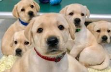 Chó con có thể là nguyên nhân gây ra đại dịch mới sau COVID-19