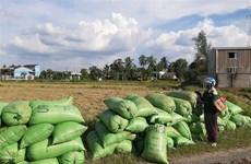 Giá lúa tại Long An thấp nhất trong nhiều năm gần đây