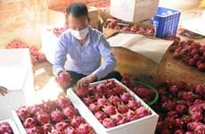 Thị trường Đông Hưng của Trung Quốc dừng nhập thanh long của Việt
