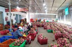 """Thanh long Bình Thuận có """"giấy thông hành"""" vào """"thị trường khó tính"""""""