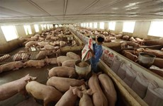 Giá thịt lợn tại các chợ vẫn cao dù giá lợn hơi giảm mạnh