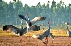 Mùa Xuân, đàn sếu đầu đỏ về Vườn quốc gia Tràm Chim