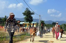 """""""Ngân hàng bò"""" chung sức giúp đồng bào thoát nghèo bền vững"""