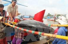 Cứu 2 tàu câu cá ngừ đại dương bị mắc cạn ở cửa biển Đà Diễn