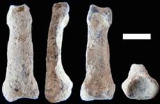 Phát hiện mẩu xương ngón tay út cách đây gần 2 triệu năm