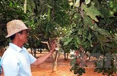 Tín hiệu tốt cho đầu ra hạt mắcca của nông dân Tây Nguyên