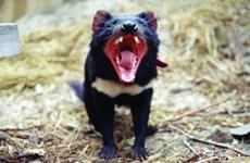 Quỷ Tasmania có thể tránh được tuyệt chủng nhờ tự biến đổi gen