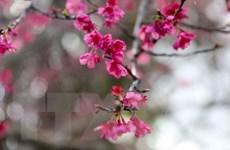 Lễ hội Nhật Bản và triển lãm hoa anh đào tại Hà Nội vào 10/3
