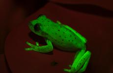 Phát hiện ra loài ếch phát sáng đầu tiên trên thế giới