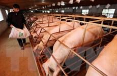 Thông tin về việc giá lợn giống tại Điện Biên cao bất thường