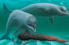 """Bí ẩn về loài cá heo """"mini"""" không răng sống cách đây 30 triệu năm"""