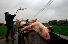 Trung Quốc: Phát hiện 300 tấn xác lợn chết bệnh vứt ra môi trường