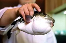 Nhật Bản báo động khẩn cấp vì cá nóc độc trôi nổi trên thị trường