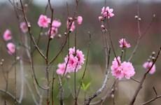Đào Nhật Tân khoe sắc rạng rỡ trên cao nguyên Lâm Đồng