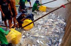 Giá cá tra nguyên liệu tăng cao kỷ lục tại Đồng bằng sông Cửu Long