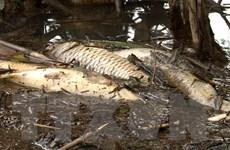 Quảng Ngãi: Cá chết nổi trắng hôi thối trên sông Bàu Giang