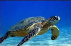 Tới thăm Côn Đảo - Nơi bảo vệ nhiều rùa biển nhất Việt Nam