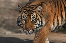 Phát hiện trang trại nuôi không phép 11 con hổ ở Thanh Hóa