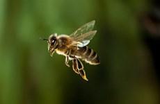 Nghệ An: Nhiều trẻ em bị ong đốt phải nhập viện cấp cứu