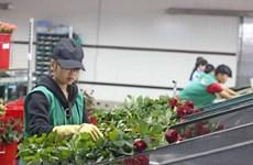 Sản lượng giảm, giá hoa hồng Đà Lạt bất ngờ tăng mạnh