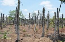 Cây tiêu chết hàng loạt gây thiệt hại nặng cho nông dân Tây Nguyên