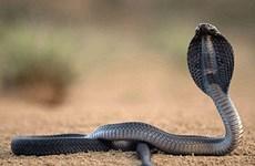 """Điện Biên: """"Rắn chúa bà"""" ở miếu Thanh Chăn chỉ là rắn bình thường"""