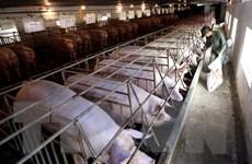 Luật Chăn nuôi: Phát triển chăn nuôi công nghiệp, chuỗi khép kín