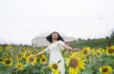 Cánh đồng hoa hướng dương ở Quảng Bình hút du khách ngày đầu năm mới