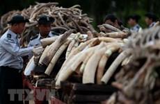 4 nước Nam châu Phi kêu gọi dỡ bỏ lệnh cấm buôn bán ngà voi