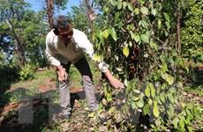 Hồ tiêu rớt giá, thuê nhân công đắt đỏ: Nhà nông đang thiệt kép
