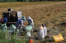 Ngân hàng dành gần 100.000 tỷ đồng cho mua tạm trữ lúa gạo Đông-Xuân