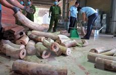 Khẩn trương điều tra mở rộng vụ án vận chuyển trái phép ngà voi