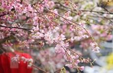 Hà Nội trồng thêm nhiều cây hoa anh đào tại Công viên Hòa Bình