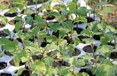 Hơn 50 tỷ đồng đầu tư trồng cây dược liệu ở Lâm Đồng