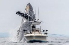 Khoảnh khắc kỳ thú: Cá voi lưng gù nặng hơn 20 tấn phi lên mặt nước