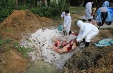 Xuất hiện ổ dịch tả lợn châu Phi tại Sóc Trăng và Đồng Tháp